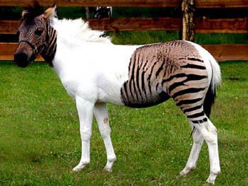 лошадь-зебра