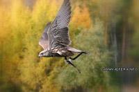 Хищные птицы Алтая. Фалькона