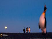 Королевский пингвин в лунном свете.