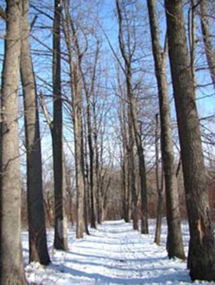 Дубовая аллея на территории института леса и ореховодства