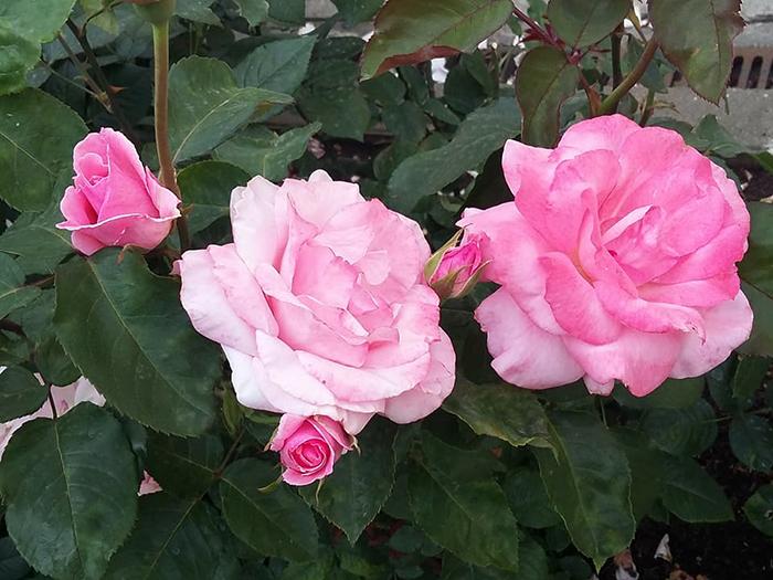 Все также цветут розы в саду музейона.