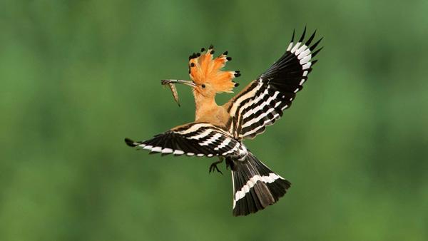 Удод – птица царя Соломона
